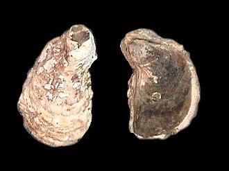 Ostreidae - Crassostrea rhizophorae
