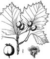 Crataegus irrasa BB-1913.png