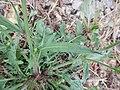 Crepis setosa leaf (18).jpg