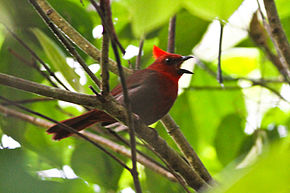 Description de l'image Crested Ant Tanager (Habia cristata) (8079775659).jpg.