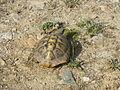 Crnovec - tortoise - P1100435.JPG