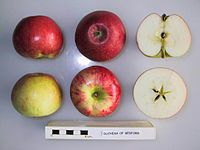 Cross section of Duchess of Bedford, National Fruit Collection (acc. 1941-009).jpg