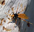 Cryptocheilus bicolor - Sydney 2.jpg