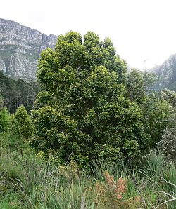 Curtisia dentata - Assegai tree - Table Mountain 6.JPG
