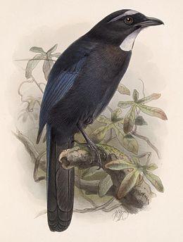 Cyanolyca argentigula Keulemans