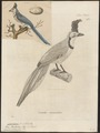 Cyanurus bullockii - 1700-1880 - Print - Iconographia Zoologica - Special Collections University of Amsterdam - UBA01 IZ15700053.tif