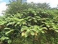 Cyathea arborea.JPG