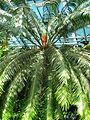 Cycas circinalis (in a greenhouse) 02.JPG