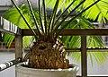 Cycas sp. 蘇鐵 - panoramio.jpg