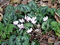 Cyclamen on the edge of Warren Woods - geograph.org.uk - 1011547.jpg
