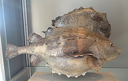 Cyclopterus lumpus - Swedish Museum of Natural History - Stockholm, Sweden - DSC00716.JPG