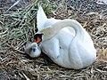 Cygnus olor (Küken) - Arboretum 2011-05-30 19-58-16.JPG