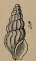 Cymatosyrinx carpenteri 001.png