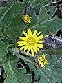 Cymbonotus lawsonianus close up.jpg
