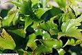 Cyrtomium falcatum Rochfordianum 1zz.jpg