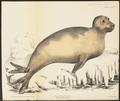 Cystophora proboscidea - 1700-1880 - Print - Iconographia Zoologica - Special Collections University of Amsterdam - UBA01 IZ21100137.tif