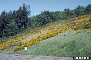 Cytisus scoparius - Broom is an invasive species in North America.