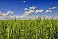 DSC5140 Пшениця.jpg