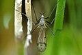 Dactylolabis.sexmaculata.-.lindsey.jpg