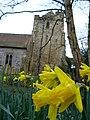 Daffodil in Sedlescombe Churchyard - geograph.org.uk - 340124.jpg