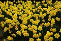 Daffodils - West Virginia - ForestWander.jpg