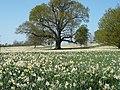 Daffodils in Cobham Hall.jpg