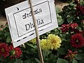 Dahlia from lalbagh 1960.JPG