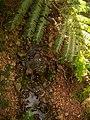 Daintree rainforest - Regenwald (23160817675).jpg