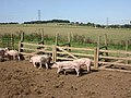 Damerham, pigs - geograph.org.uk - 1484609.jpg