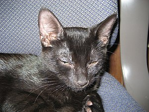A young black cat, showing relaxation and happ...