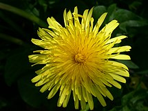 Dandelion in bloom