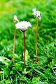 Dandelions, Shogran.jpg