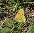 Dark Clouded Yellow (Colias croceus) I IMG 6943.jpg