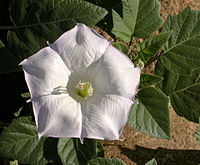 Datura wrightii flower 2002-10-08