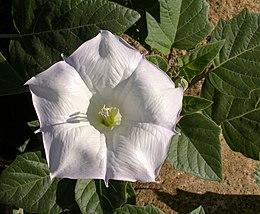 Datura wrightii flower 2002-10-08