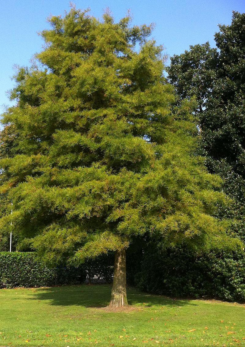 800px-Dawn_Redwood_-_Summer_Foliage.jpg
