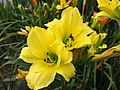 Daylilies in Bloom.jpg