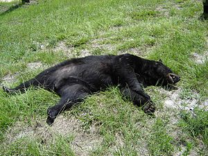 Florida black bear - A Black Bear killed in a motor vehicle accident on State Road 40.