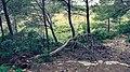 Dead pine - Réserve naturelle régionale de Sainte Lucie.jpg
