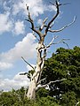Dead tree - geograph.org.uk - 1312420.jpg