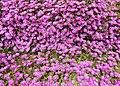 Delosperma pink Ice Plant 3.jpg