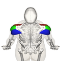 Deltoid muscle top4.png