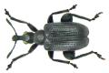 Deporaus betulae (Linne, 1767) male (6815945671).png
