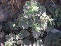 Desert plants 39.JPG