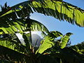 Devils Peak through the fronds of a Natal wild banana (Strelitzia) (4827315777).jpg