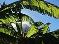Devils Peak through the fronds of a Natal wild banana (Strelitzia) (4827315777).jpg