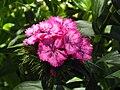 Dianthus barbatus 4.JPG
