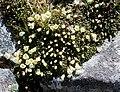 Diapensia lapponica s2.jpg