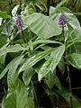 Dichorisandra thyrsiflora 120926.jpg