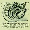 Die Frau als Hausärztin (1911) 062 Vorwärtsneigung der Gebärmutter.png